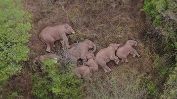 Las autoridades dicen que los elefantes pueden estar regresando a casa.