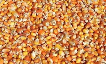 Producción de maíz en Uruguay.