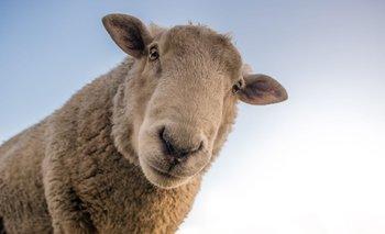 El stock ovino sigue descendiendo.
