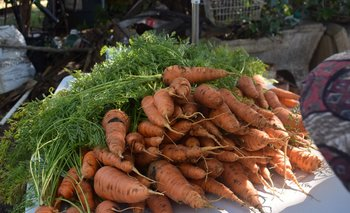 Zanahorias en una quinta orgánica en Paysandú.