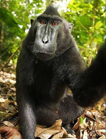 Autoretrato de un macaco negro crestado en  Indonesia, tras hacerse con la cámara del fotógrafo David Slater y hacerse una selfie