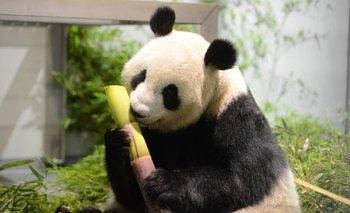 Una osa panda da a luz a mellizos en un zoológico de Tokio