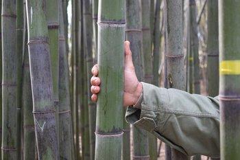 Caña de bambú negro (Phyllostachys nigra.