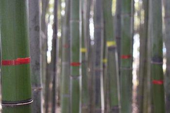 Manejo sustentable de Bambúes. Se realiza una marcación de cada generación de cañas para definir la composición etaria de la población y así definir las tasas de extracción. En rojo cañas nacidas en primavera 2019 y en amarillo las nacidas en 2018, las cuales no deben ser cosechadas.