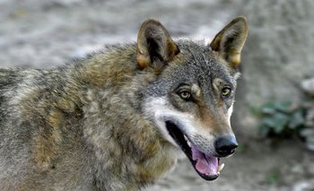 Lobo gris en su recinto en el Zoológico de Zagreb