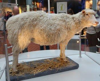 Los restos disecados de la oveja Dolly están expuestos en el Real Museo de Escocia.