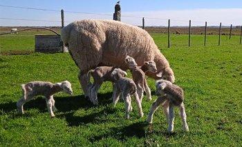 Una oveja Poll Dorset tuvo quintillizos.