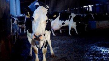 Cow se suma a la lista de películas que denuncian el maltrato de los animales