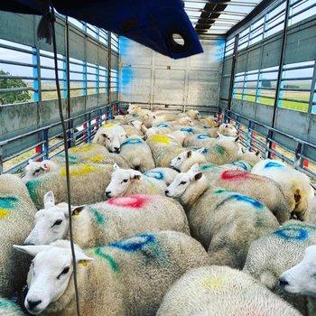 Se exportaron animales de varias razas con destino a reproducción y algunos para la producción de pelego.