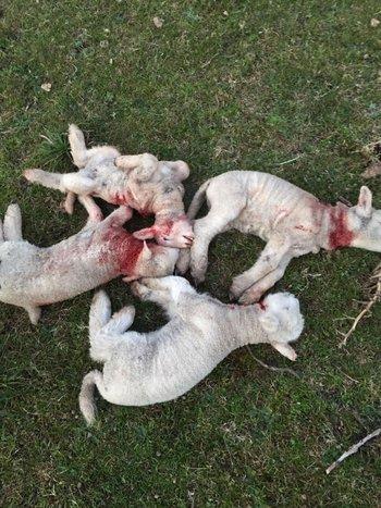 Los perros mataron nueve corderos que tenían 20 días de vida aproximadamente.