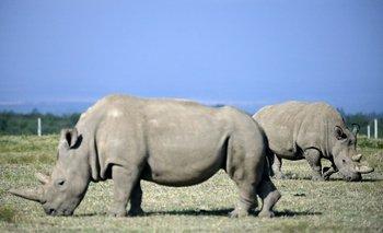 Najin, en primer plano, y su hija Fatu, las dos últimas rinocerontes blancas del norte, en su refugio en la reserva de Ol Peteja, en Nanyuki, Kenya, el 23 de agosto de 2019