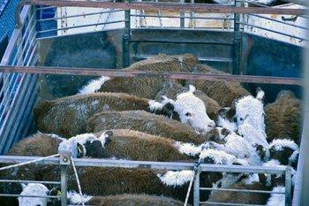 Para el mercado chino los exportadores uruguayos envían animales con destino a reproducción, mientras que para Turquía los ganados van con destino a recría.