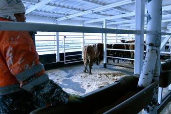 De acuerdo al peso del animal, se le asignan los metros cuadrados de corral en el barco.