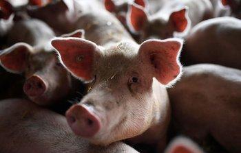 La PPA, una enfermedad no zoonótica, pero muy riesgosa para la producción de carne.