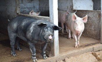 La Peste Porcina Africana (PPA) es altamente viral entre los cerdos.