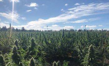 Ungrupo de acciones vinculadas a la cannabis saltaron esta semana.