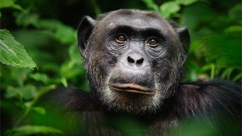 Hoy día, los chimpancés están amenazados por la deforestación y la caza.