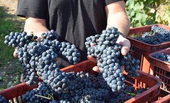 El Centro de Viticultores del Uruguay tiene 250 socios.