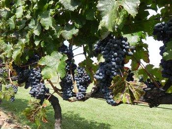 Certificar un sistema de producción de uva sostenible implica una producción que sea de bajo impacto ambiental y que respete la biodiversidad, al productor y al consumidor.