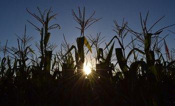 El maíz gana espacio en el área de chacra uruguaya.