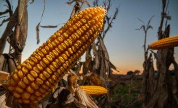 Nuevos desarrollos de Stine en maíz.
