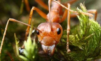 Algunas hormigas esclavistas capturan obreras de la especie a la que esclavizan y las llevan a su colonia para que trabajen para ellas