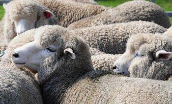 La faena de ovinos está en su máximo de 11 años.