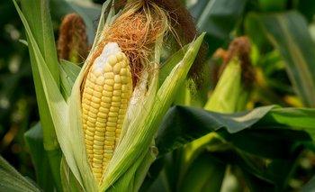 La retención para el rubro maíz se puede ubicar en un 10%