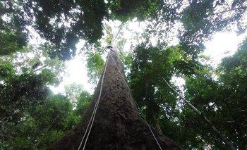 """Menara significa """"torre"""" en el idioma local. El árbol mide 100,8 metros"""