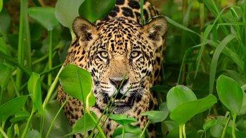 """""""El tráfico de partes de jaguar no es solo un problema de conservación, sino de crimen organizado"""", afirmó Andrea Crosta"""