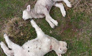 Perros atacaron ovejas que tenían corderos pequeños y otras que estaban por parir.