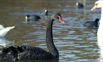 """En resumen, el """"cisne negro"""" representa una metáfora de algo impredecible y muy extraño, pero no imposible."""