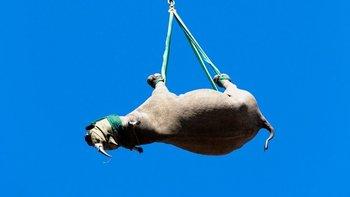 Los científicos de la Universidad de Cornell querían saber si la salud de los animales podría verse comprometida cuando cuelgan de sus patas debajo de un helicóptero