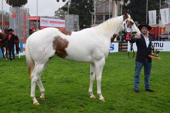 El Gran Campeón Paint Horse es un caballo que fue importado desde Brasil en 2020.