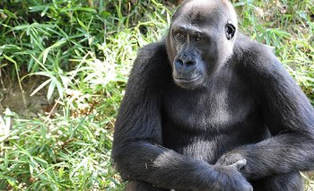 FILES-US-HEALTH-VIRUS-ANIMAL (FILES) In this file photo a Western Lowland Gorilla sits in its habitat at the Smithsonian