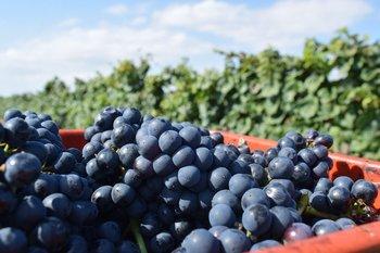 Producción en viñedos de Canelones.