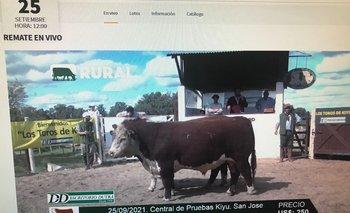 Remate de los toros de la prueba de eficiencia en la Central Hereford, en Kiyú.