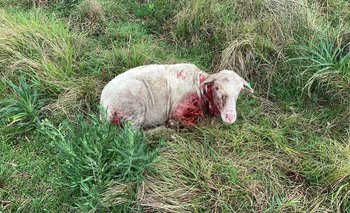 Los ovinos atacados son de la raza Merino Australiano.