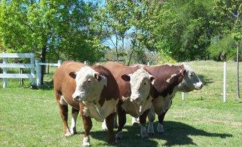 Trío de toros Polled Hereford, en Paysandú.