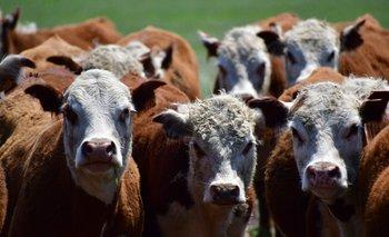 Bovinos de la raza Hereford.