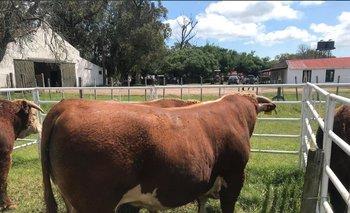 Los 42 toros comercializados hicieron un promedio de US$ 2.833.