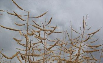 Cultivo de colza en Uruguay.