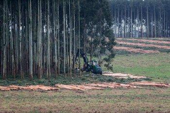 Cosecha de eucaliptos en Colonia