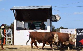 El toro mocho que aparece por delante fue el que se colocó en 12 cuotas de US$ 1.250.