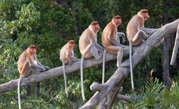 Los monos tienen cola, a diferencia de los humanos y grandes simios