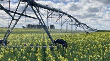Cultivo de colza en floración bajo riego.
