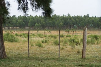 Predio forestado en un campo lindero a la ruta 1, en Colonia.