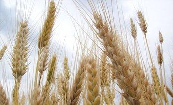 El trigo ha ido cambiando desde la antigüedad