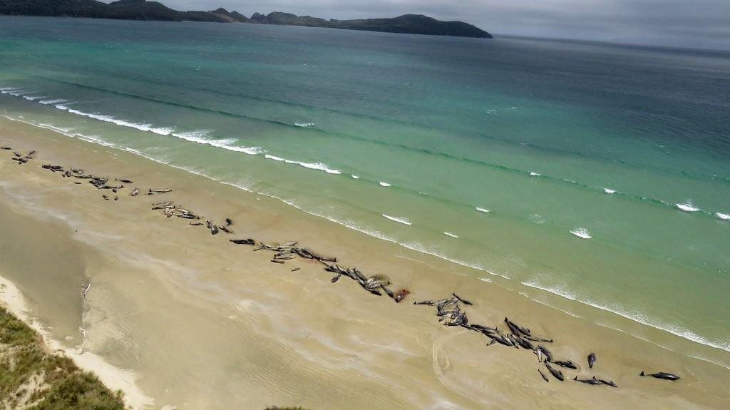 145 ballenas mueren varadas en Nueva Zelanda