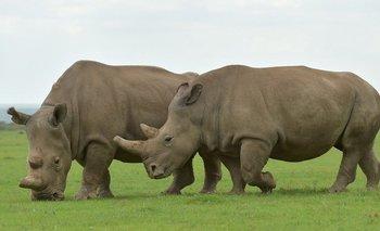 AFP La mayoría de las especies modernas de rinocerontes se encuentran en reservas nacionales